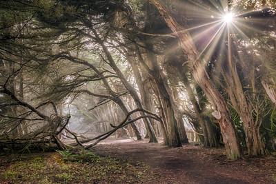 Light Through the Cypress, Sea Ranch, California