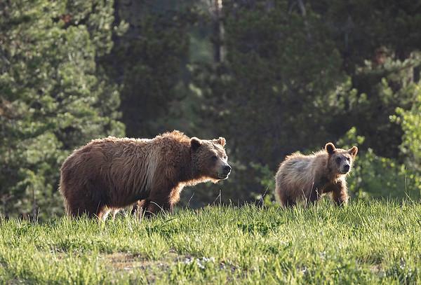 Grizzly 399 | Grand Teton NP | Wyoming