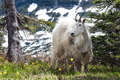 Mountain Goat Among the Wildflowers