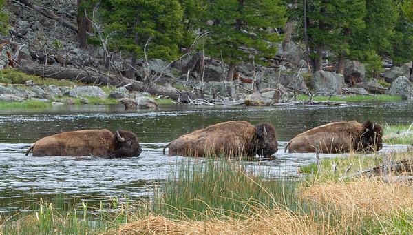 Bison Crossing River