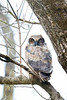 Horned Owlet