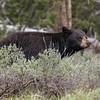 Black Bear | Grand Teton NP | Wyoming