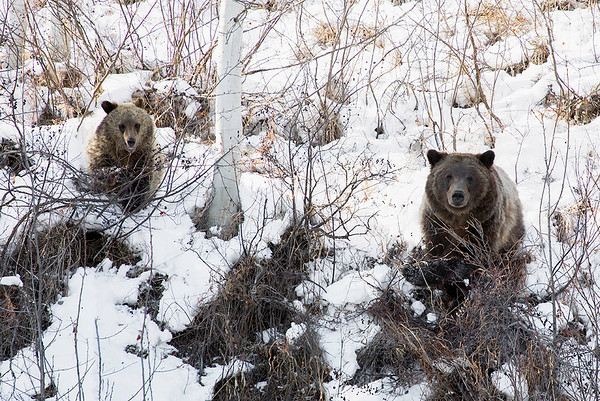 #399 and cub - Grand Teton NP | Wyoming