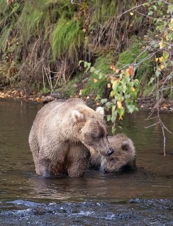 Bear #719 and cub   Brooks River   Alaska