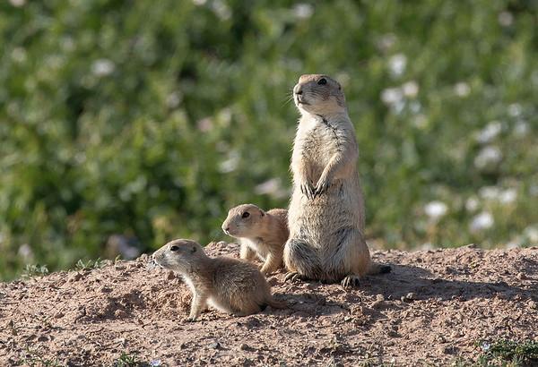 Prairie dogs | Amarillo, Texas