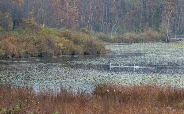 Swans at Beaver Marsh
