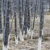 Bobby Sox Trees