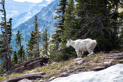 Mountain Goat in Glacier