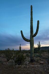 Saguaro Cactus King