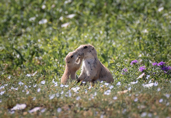 Prairie dogs | Amarillo, TX