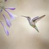 Hummingbird and Hosta
