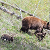Black bear and her two cubs