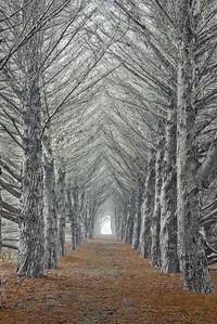 Avenue of the Cypress- Study 1, Sea Ranch, California