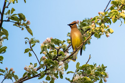 Waxwing Cedar in an Apple Tree