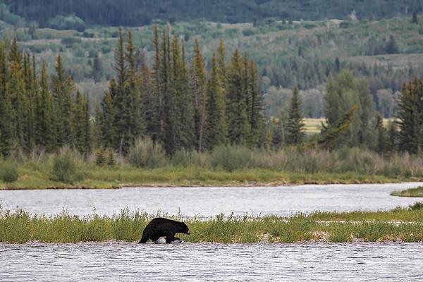 Black Bear crossing Buffalo Fork   Grand Teton NP   Wyoming