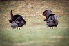 Turkey Strut  -  another image of these gobblers trying to get the interest of some hens in the area