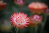 August 28 - Strawflower Bloom