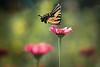 Sept 2 - Swallowtail