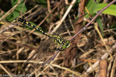 Onychogomphus forcipatus, Small pincertail, Green-eyed hook-tailed dragonfly