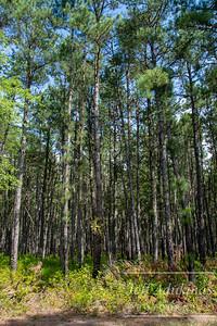 Pine Forrest PT