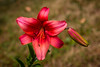 Red Montenegro Asiatic Lily
