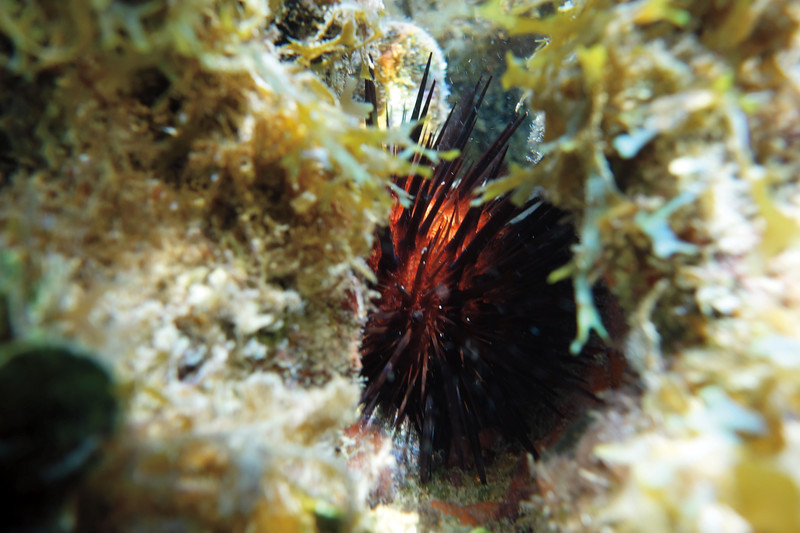 """In a New Light: Dry Tortugas - Johnny, 17 - """"Glowing Urchin"""""""
