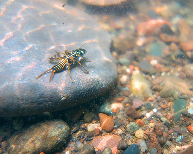 """In a New Light:  Under the surface -  Steh, 16 - """"stone fly"""""""