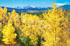 Aspen Glowing in Fall