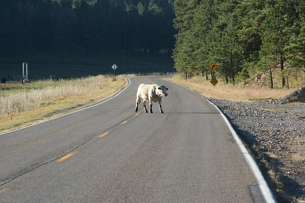Cow crossing, between Ruidoso and Cloudcroft, NM