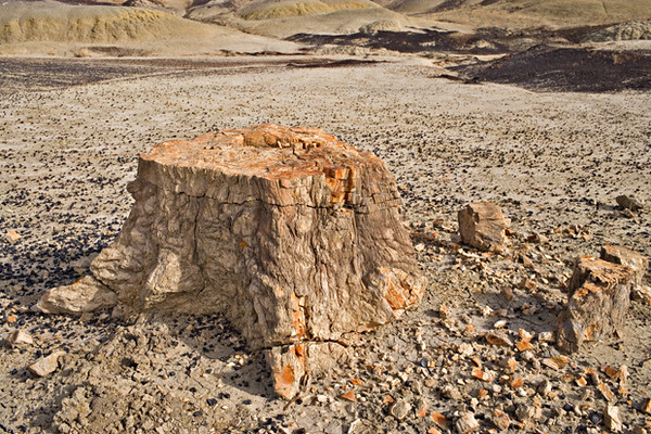 Petrified cypress-like conifer - in growth position - Fossil Forest - Fruitland Formation - 75 Mya