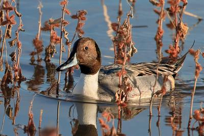 Duck - species ?