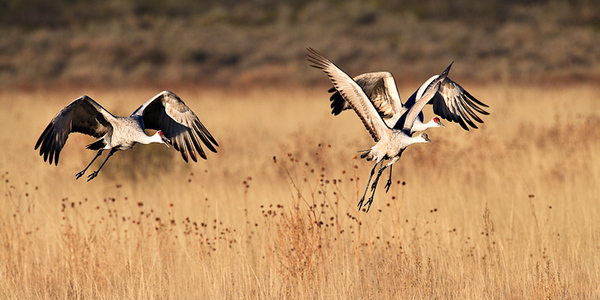 Sandhill Cranes - Morning Flight - north ponds  - Nov, 2008
