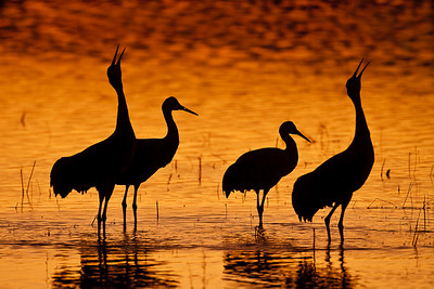 Unison call at sunset Sandhill Cranes - - Nov, 2008