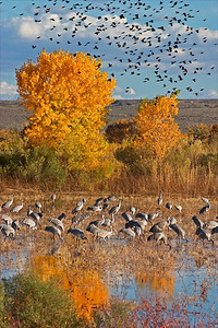 Sandhill Cranes - Fall Cottonwoods - Nov 2004 Redwing Blackbird flock