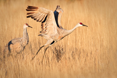Sandhill Crane - Morning Flight - north ponds  - Nov, 2008