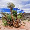 Juniper on Chimney Rock Mesa - Ghost Ranch, New Mexico.