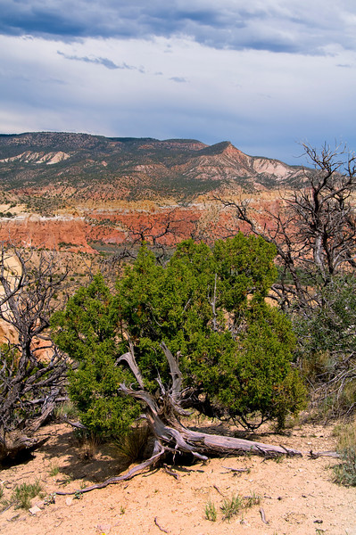 Juniper on Chimney Rock Mesa - Ghost Ranch, New Mexico.