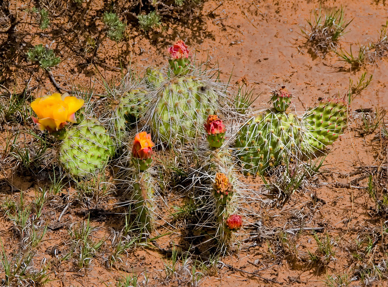 Pricklypear Cactus - Ghost Ranch, New Mexico