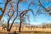 New Mexico - Battle of Valverde reenactment in 2012; army encampments along Rio Grande- 2-26-12-C3-0067 - 72 ppi