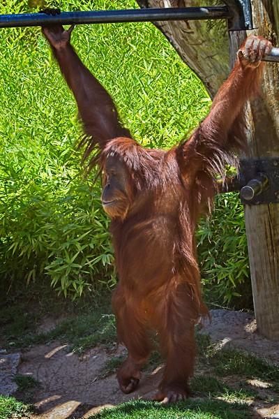 Rick's POTD - Orangutan