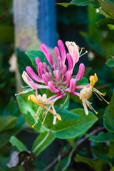 Flowers - Honeysuckle