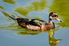 Wood Duck, Male - Non-Breeding Plumage
