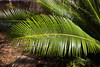 Chestnut Dioon