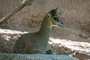 Zimbabwean Klipspringer