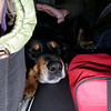 Stitchie taking a nap in the car