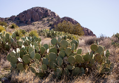 Prickly Pear Cacti: Rockhound State Park
