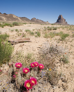 131. Shiprock, Spring, prickly pear cactus blooms, San Juan Basin, New Mexico