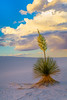Blooming yucca plants in the White  Sands National Monument at sunset near Alamogordo, New Mexico, USA.