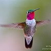 male broadtailed hummingbird in flight