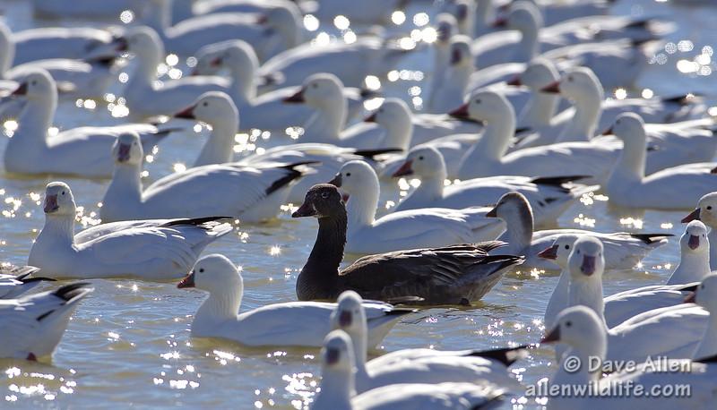 Snow Goose - Dark Morph
